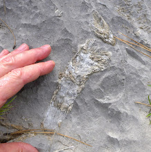 Photo: Horn coral in Madison Limestone on ridge between Meriwether and Mann
