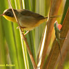 Common Yellowthroat and Green Anole