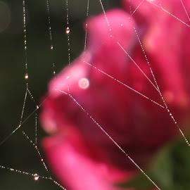 by Bozidarka Scerbe Haupt - Nature Up Close Webs ( rose, drops, light, spider web )