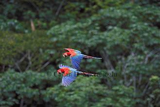 Photo: Red-and-green macaws. Alto Madidi National Park, Bolivia.