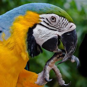 Macaw by Wilfredo Garrido - Animals Birds ( birds, blue macaw, macaw )