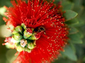 Photo: Bottle Brush Buds,Bee