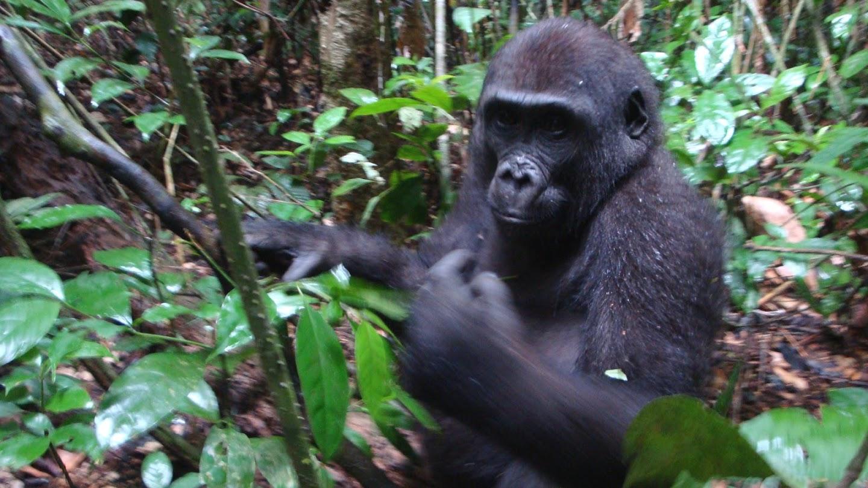 Watch Mystery Gorillas live