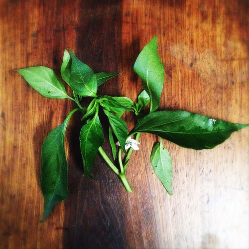 Chili Leaves, chili, leaf, chilies, Stir Fry, Garlic, 蒜蓉, 炒, 辣椒葉, recipe, bird eye chili