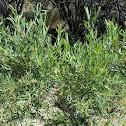 narrowleaf willow