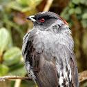 Cotinga Crestada - Red-crested Cotinga