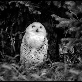 Snowy Owl by Dave Lipchen - Black & White Animals