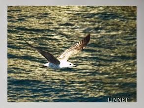 Photo: カモメ Common Gull