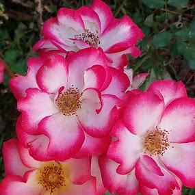Roses in Bloom  by Darla Grumbles - Flowers Flower Gardens