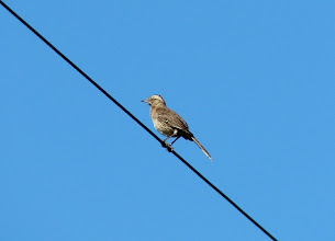 Photo: Chilean mockingbird - La Campana National Park - Chile - Nov 15, 2010