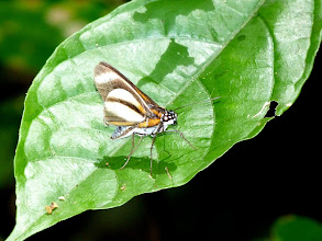 Photo: CRAMER'S FANTASTIC-(PHYLLUS) SKIPPER--vettius phyllus--APUYA TRAIL