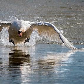 decollo by Mauro Rotisciani - Animals Birds ( mirrored reflections, bird, lago, acqua, ali, oasi, wwf, lake, cigno )