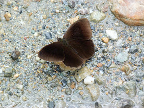 Photo: ORCUS SATYR--pronophila orcus- TRACK TO SAN ISIDRO