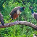 Indian peafowl, common peafowl, blue peafowl (f/ Peahen)