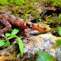 Penang Rock Gecko