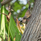 Long-tailed Finch (adult & juvenile)