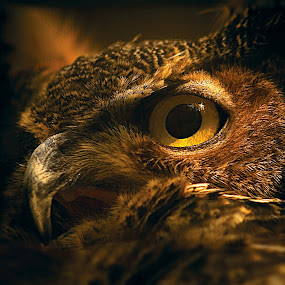 Detailed closeup of the eye of a Horned Owl (Bubo virginianus.)  by D. Jan Anderson - Animals Birds ( detail, animals, strength, accipiter, wildlife, feather, bird, predator, ornithology, nature, american, owl, beak, bubo_virginianus, raptor, birds_of_prey, head, horned-owl, eye )