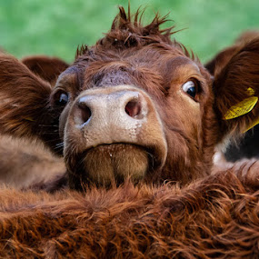 Moove over i cant see by Andrew Lancaster - Animals Other ( nature, farmyard, cow, cattle, eyes, beautiful, face, ears, meat, animal, farm, starring, animals, wildlife,  )