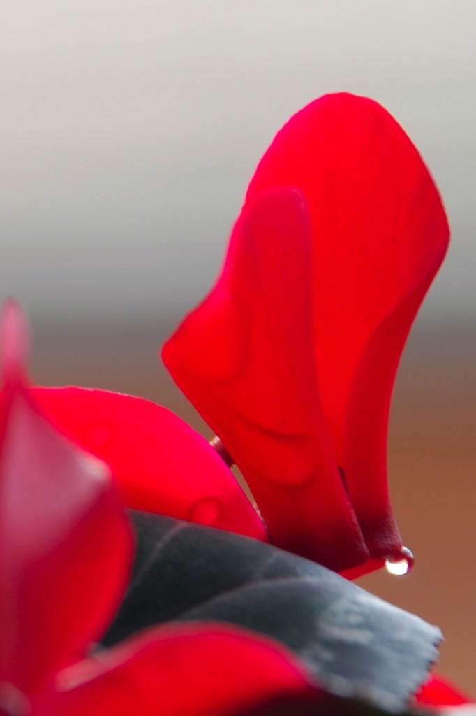 Lacrima in Rosso di Vi-Pi