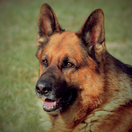 He's got the look by Sue Delia - Animals - Dogs Portraits ( face, german shepherd, dog, closeup,  )