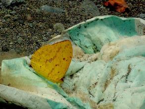 Photo: APRICOT SULPHUR--phoebis argante--RIO CHIGUAZA