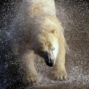 Drop Explosion by Daggi Meyer - Animals Other Mammals