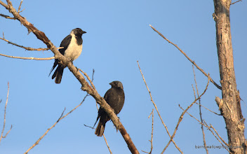 Photo: Georgy's Photo: An adult and juvenile Daurian Jackdaw