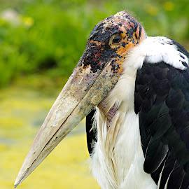 by Rod Fewer - Animals Birds (  )