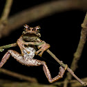 Malabar tree toad