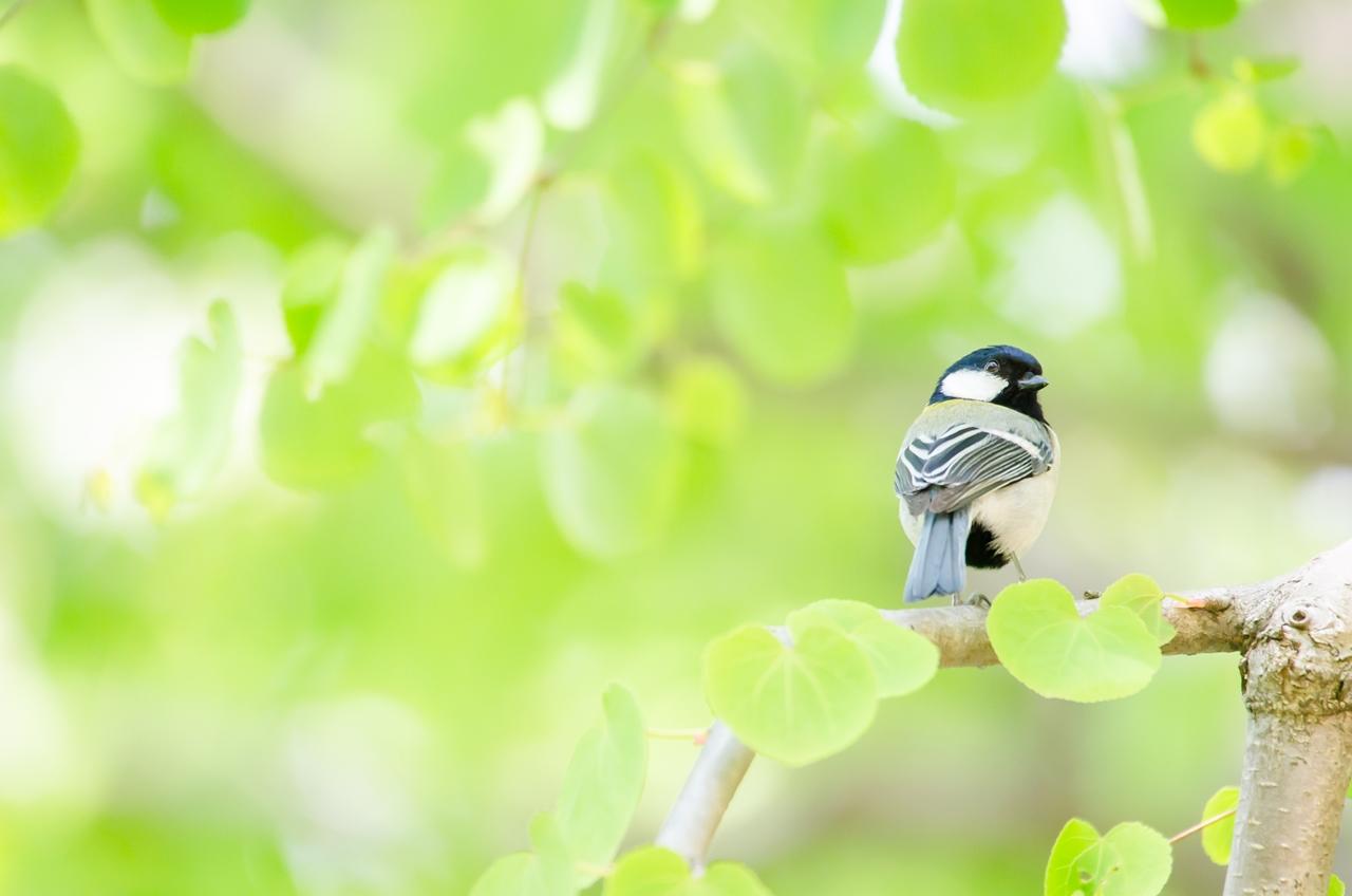 Photo: 芽吹きに夢心地 World of sprout like a dream.  あふれ始める緑 次へ次へと若葉が芽生え 視界を新緑に染めていく 淡い緑の夢の中  ★★写真展へ出展中の作品を紹介しています★★ 新緑の季節に出会ったシジュウカラです。 ぽっ、ぽっと芽吹く若葉に包まれて、 淡い緑が心地良く、 夢心地な時間を過ごさせてくれました。 Photo of Japanese Tit.  この作品も自分にとってもお気に入りの作品で たくさんの方にもご好評いただいています。 溶け込んでいくような淡い緑、 ぜひこの子と一緒に 夢心地なひとときを感じてもらえたら幸いです。  今日もClose前30分程度ですが 18:30から在廊予定です。 この作品も含めて小鳥たちのエピソードなど ぜひぜひお話させていただけたらと思います♪  takashi kitajimaさんも17時頃より 在廊予定となっています^^  -------------------------------------- 【おしらせ】三人写真展六日目です  「Google+三人写真展 2014 / The Three Men Emerge 2014」  会期: 8月22日[金]~31日[日] Open 11:00-19:00 会場: Island Gallery 東京都中央区京橋1-5-5 B1 tel / 03-3517-2125 ※入場無料 会期中無休 協賛: マルマン株式会社 Canson Infinity 詳細: http://islandgallery.jp/9987  僕は8/30、31日はOpenからCloseまで在廊予定です。 平日はClose前30分程ですが在廊予定です。 ---------------------------------------------- #birdphotography #birds #cooljapan #365cooljapanmay Nikon D7000 SIGMA APO 50-500mm F5-6.3 DG OS HSM [ Day107, August 27th ]