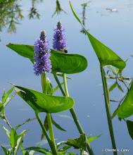Photo: Pickerel weed