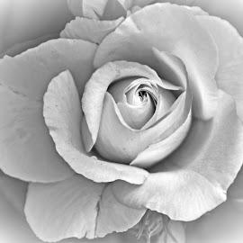 Rose by Will McNamee - Black & White Flowers & Plants ( patty_j_ball@hotmail.com; donaldbarber11@msn.com; donaldbarber11@msn.com; d3a1@aol.com;  postholes2002@yahoo.com;,  )