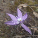 Wax-lipped orchid