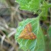 Pyrausta Moth