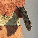 Red-washed Prominent Moth