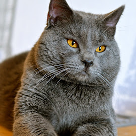 Hannibal 1112 by Serge Ostrogradsky - Animals - Cats Portraits