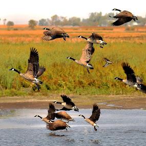 October Flight ! by Jan Siemucha - Animals Birds ( water, water fowl, pwcmovinganimals, geese, birds )