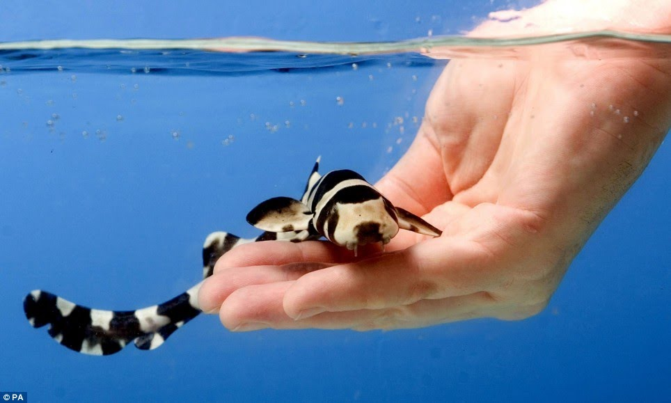 young black banded cat shark
