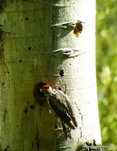 """Photo: #5-fem. sapsucker carries food to cavity """"start"""" above nest to better prepare it for delivery"""
