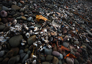 Photo: Smooth stones, sticks and other debris line the beach at Rainbow Shores on the eastern edge of Lake Ontario in Pulaski, NY.