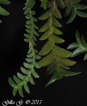 Photo: Angraecum distichum/Angraecum aporoides