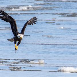 by Stephen  Barker - Animals Birds ( flight, fishing, eagle, talons, mississippi river )