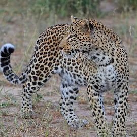 A Leopard Pose! by Anthony Goldman - Animals Lions, Tigers & Big Cats ( feline, predator, south africa., londolozi, nkoveni, female, big cat, wild, wildlife,  )