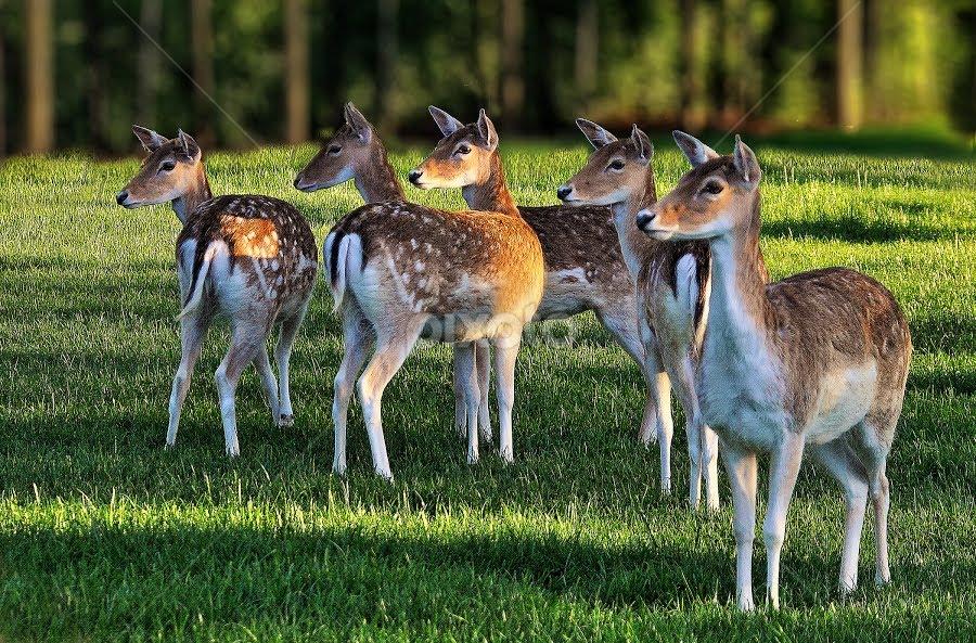 young deer watching visitor by Ghislain Vancampenhoudt - Animals Other Mammals
