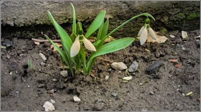 Photo: Ghiocei (Galanthus) - de pe Str. Str. Cânepişti - 2017.03.12