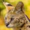 serval1.jpg