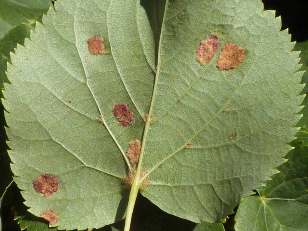 Изменение цвета листьев на бурый