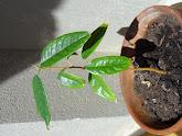 Photo: Week 9 - 23 cm / leaf 8.5 cm