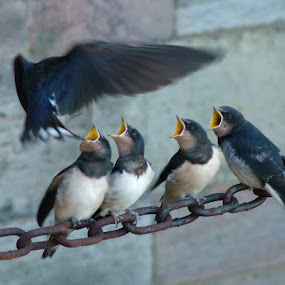 by Rachel Startin - Animals Birds ( swallows )