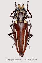 Photo: Callipogon barbatum (1), Syn.: C. lemoinei, 71 mm, Costa Rica, Corcovado NP, Sirena (08°28´/-83°35´), leg. Erwin Holzer, det. Herbert Schmid